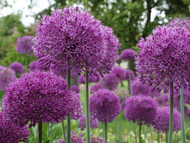 Allium are strong and decorative and come in many colors  and sizes.