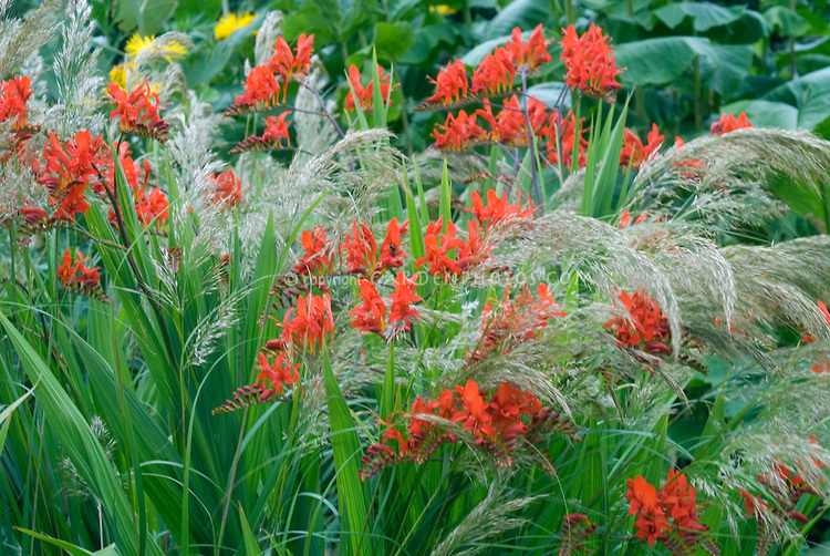 Red Crocosmia lucifer and OPrnamental grass Stipa calamagrostis