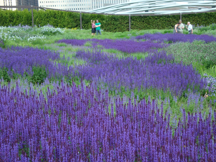 The Lurie Garden S Iconic Salvia River Is In It S Full