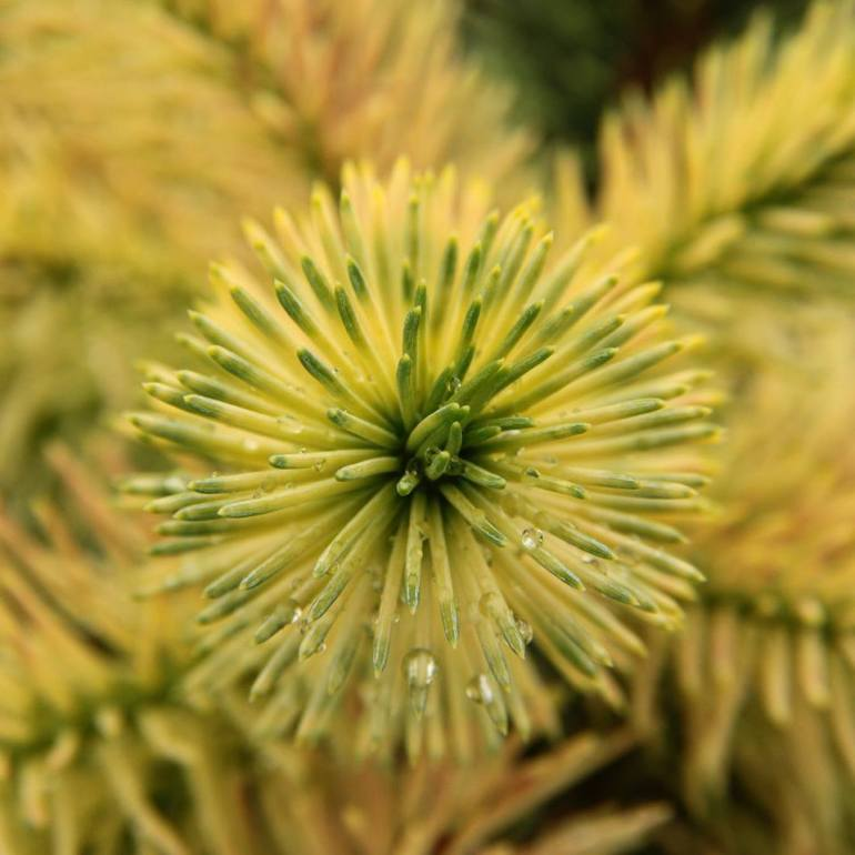 Picea pungens 'Straw'