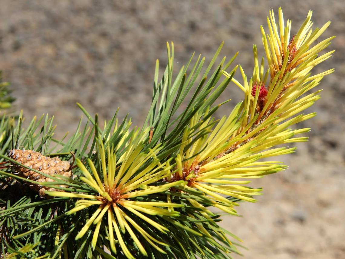 Pinus contorta var. latifolia 'Taylor's Sunburst'