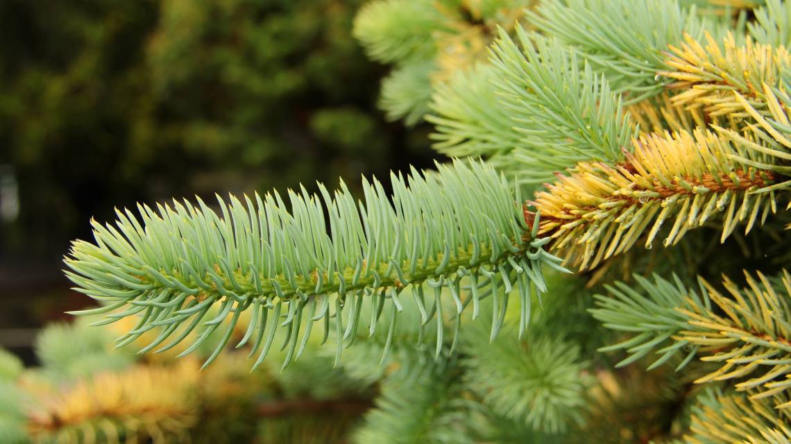 Picea pungens 'Wisconsin Cream'