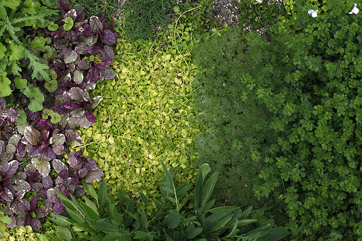 Ajuga 'Burgundy Glow', Mazus reptans, Cotula hispida, Lotus maculatus