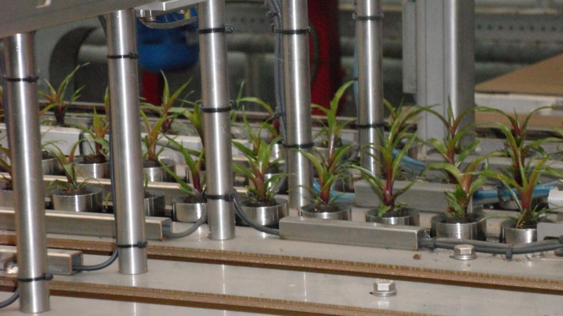 De planten worden gesorteerd en klaar gemaakt voor vertrek