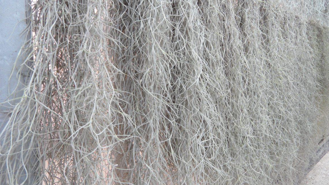 De meest bekende soort Tillandsia