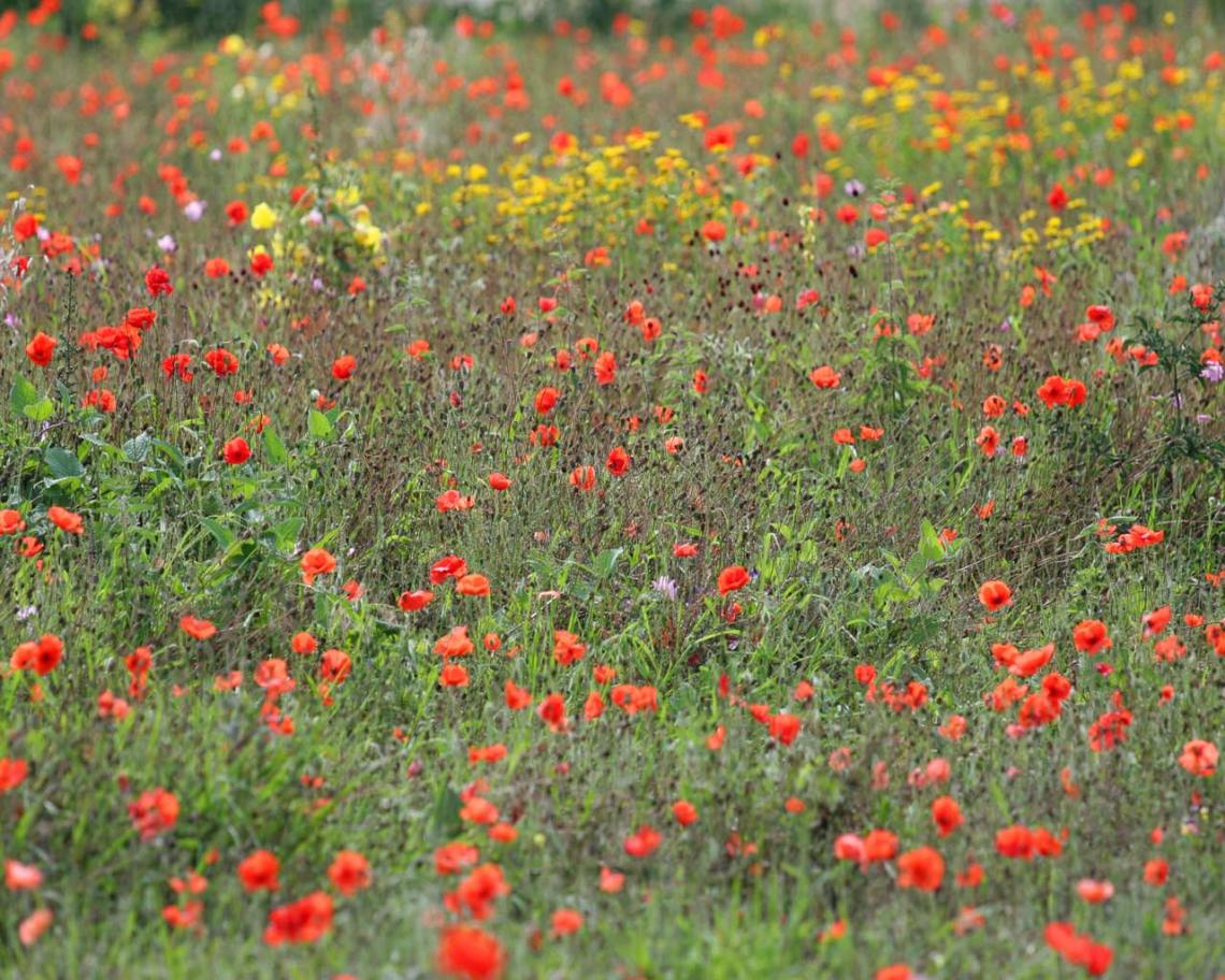 wildflower-meadow-786925