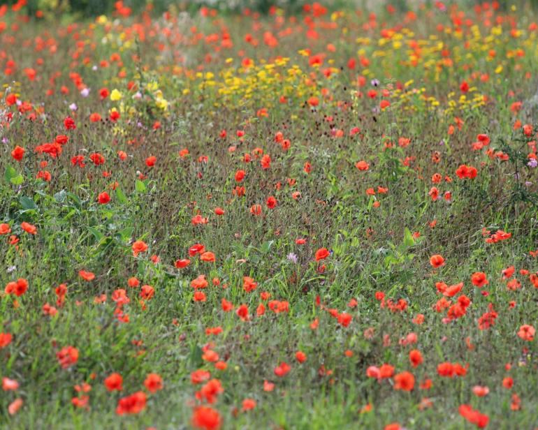wildflower-meadow-786925
