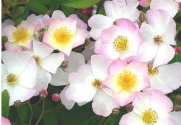 rose 7