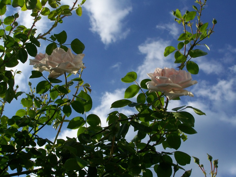 Rose_Garden_by_SugarAnnie