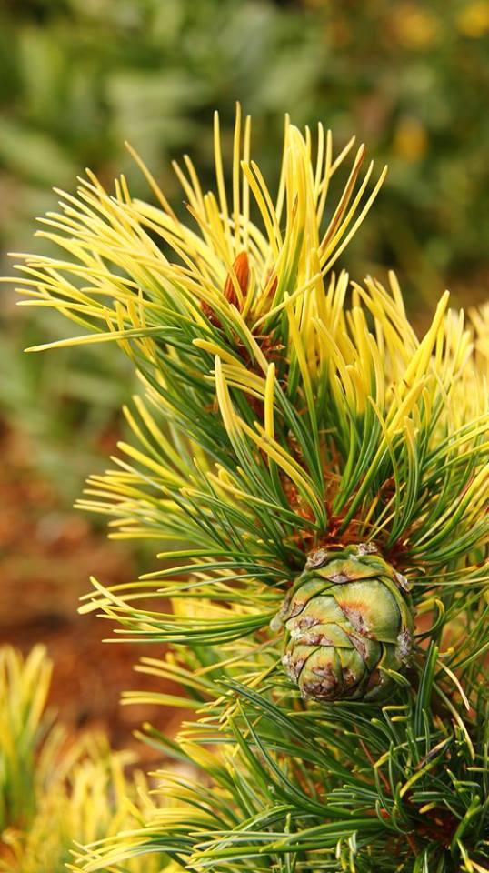 Pinus parviflora 'Goldi Locks'