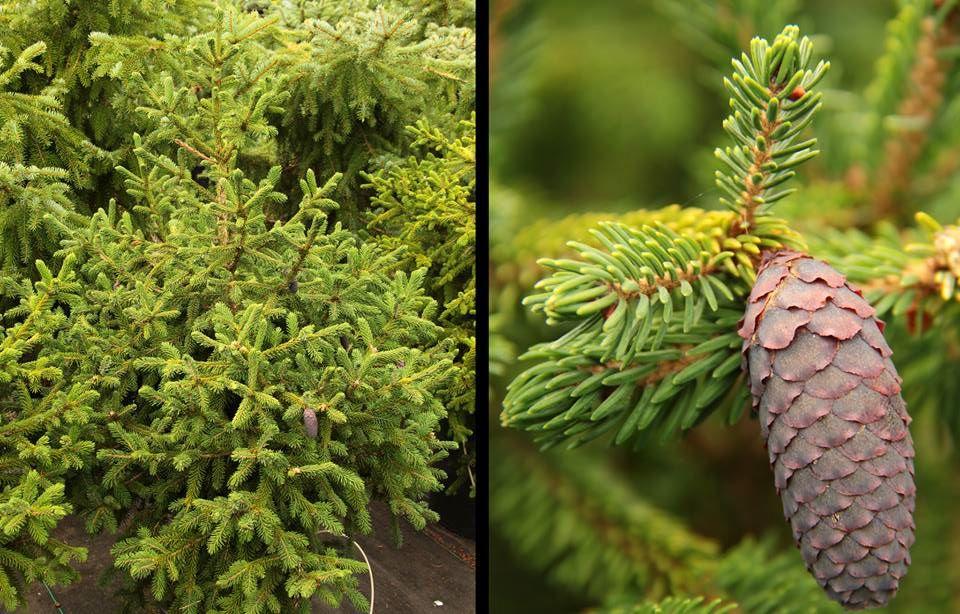 The Purple Cones of Picea likeangensis var. Purpurea