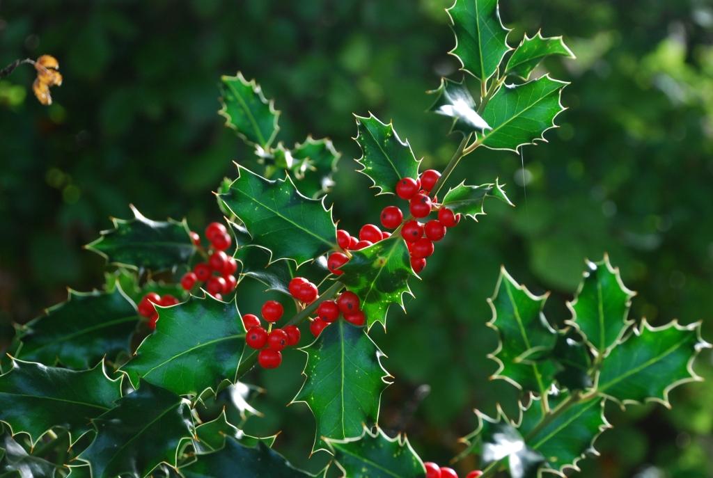 Ilex aquifolium a Christmas 'Feel Good' Classic!